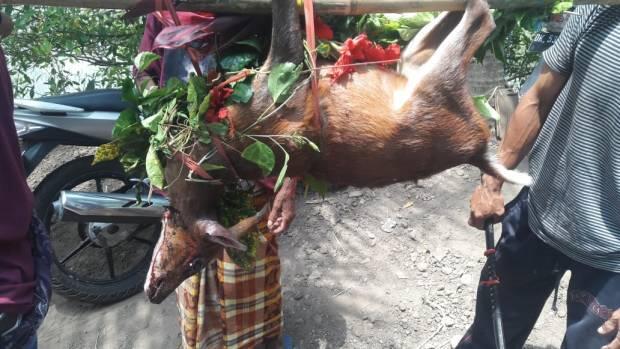 Meboros, Krama Desa Busungbiu Berburu Kidang untuk Pujawali