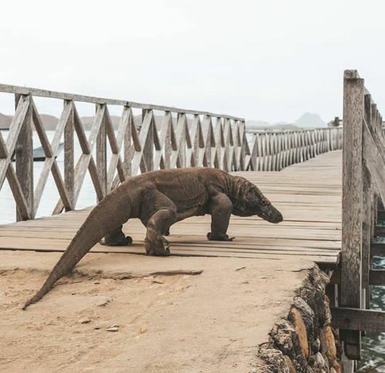 Komodo, Hewan Langka dengan Nilai Kehidupan tinggi