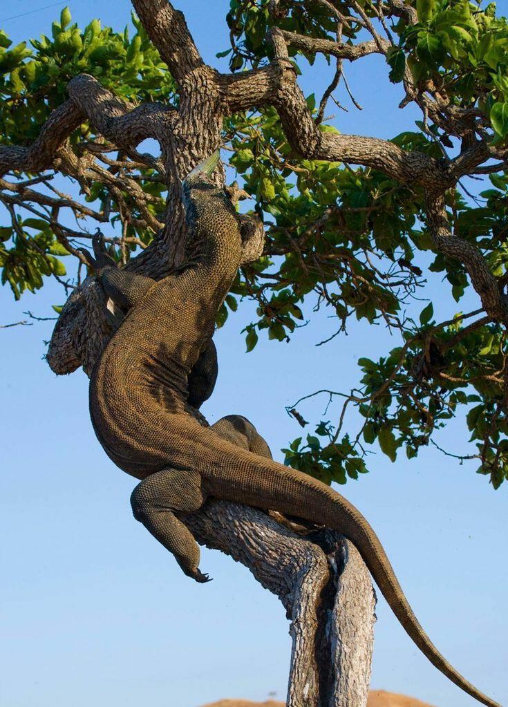 Mau Lihat Komodo di Habitat Aslinya? Siap-siap Rogoh Kocek Rp 14 Juta Dulu, Gan!