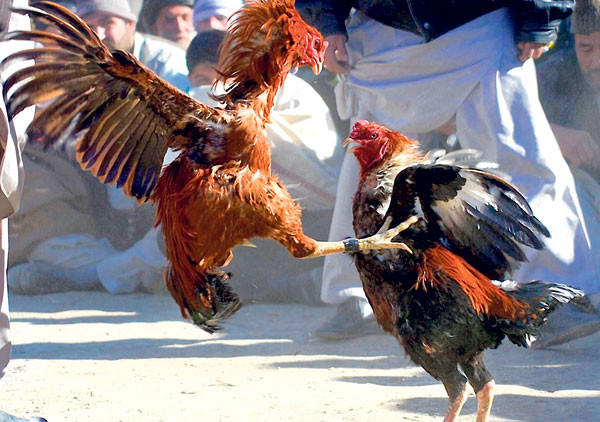 Sabung Ayam di Fillipina bernilai Milliaran Dollar