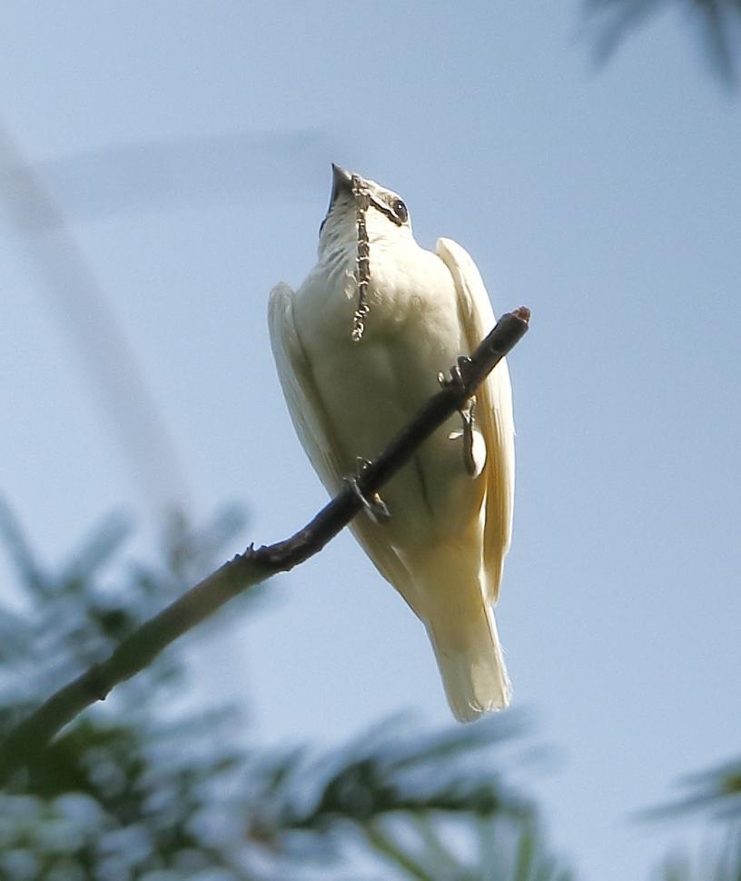 suara burung terkeras di dunia