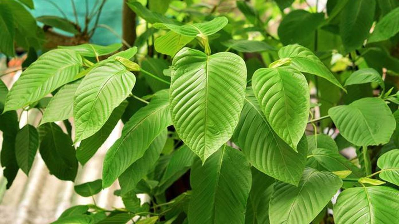 Daun Kratom, Tanaman Herbal Indonesia yang Dikecam Amerika