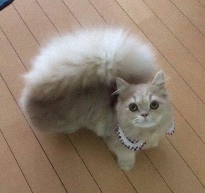 Bell, Kucing Napoleon Unik dengan Ekornya yang Tampak Seperti Ekor Tupai!