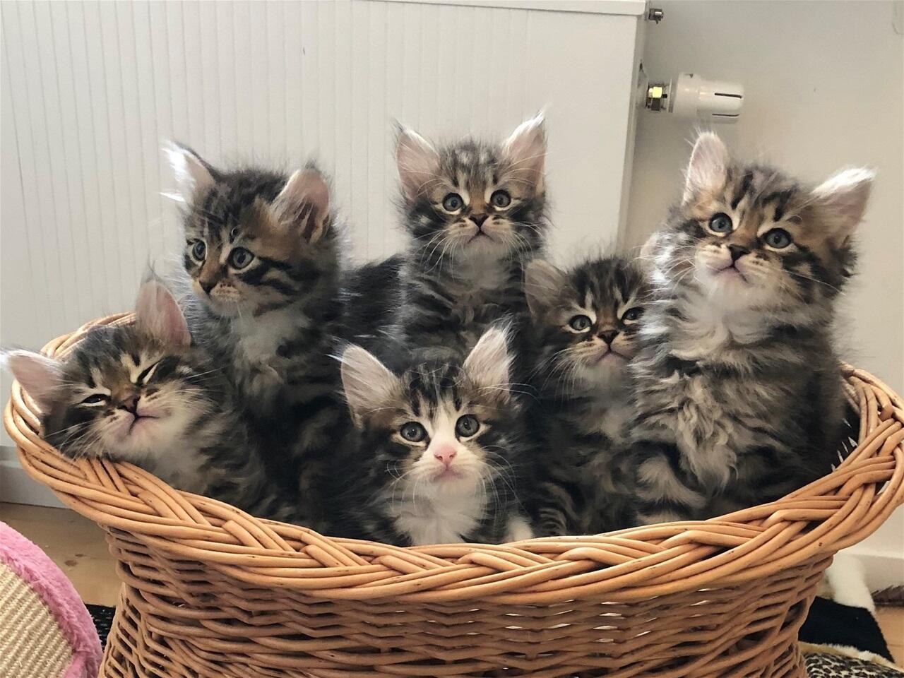 Mengharukan, Inilah Beberapa Alasan Kenapa Induk Kucing Memakan Anaknya Sendiri!
