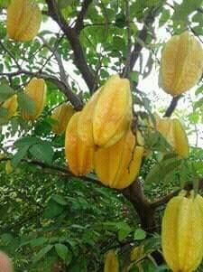 Kebun Belimbing Dempel, Ngawi. Bisa Mendatangkan Ide Baru