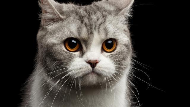 Tak Hanya Manusia, Wajah Kucing Juga Bisa Berubah Untuk Ekspresikan Rasa Sakitnya!