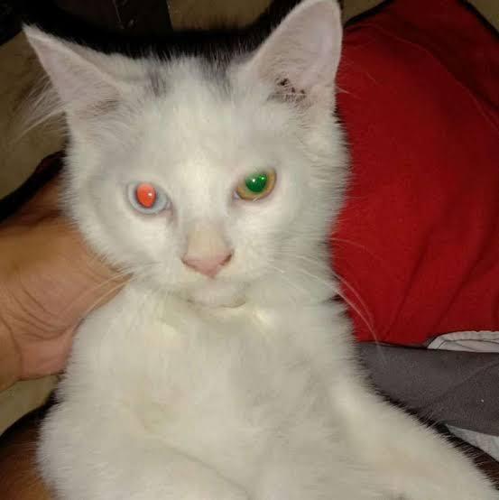 Fakta Menarik Seputar Odd Eye Kucing Dengan Mata Beda Warna Yang Perlu Agan Ketahui Kaskus