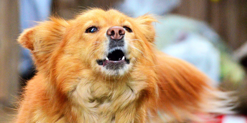 Anjing Melolong, Pertanda Ada Mahluk Halus?