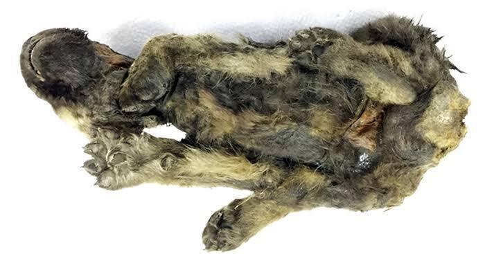 """VIRAL! Foto """"PENAMPAKAN"""" Anak Anjing Berusia 18.000 Tahun Yang Ditemukan Di Siberia"""