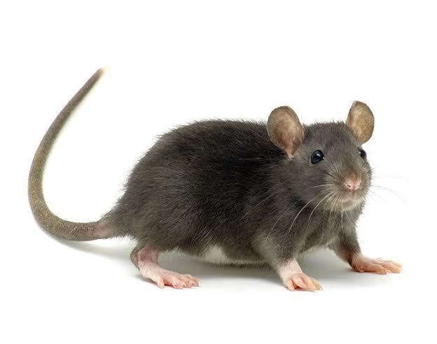 Yuk, Usir Tikus dengan Kantong Teh Celup! Ampuh
