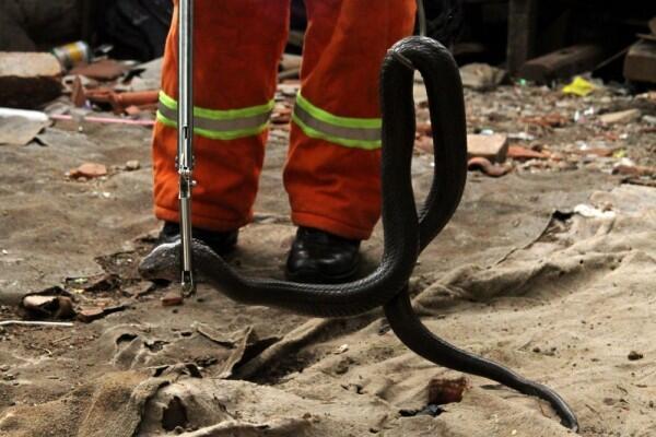 Teror Ular Kobra, Wali Kota Jakarta Barat Minta Warga Waspada