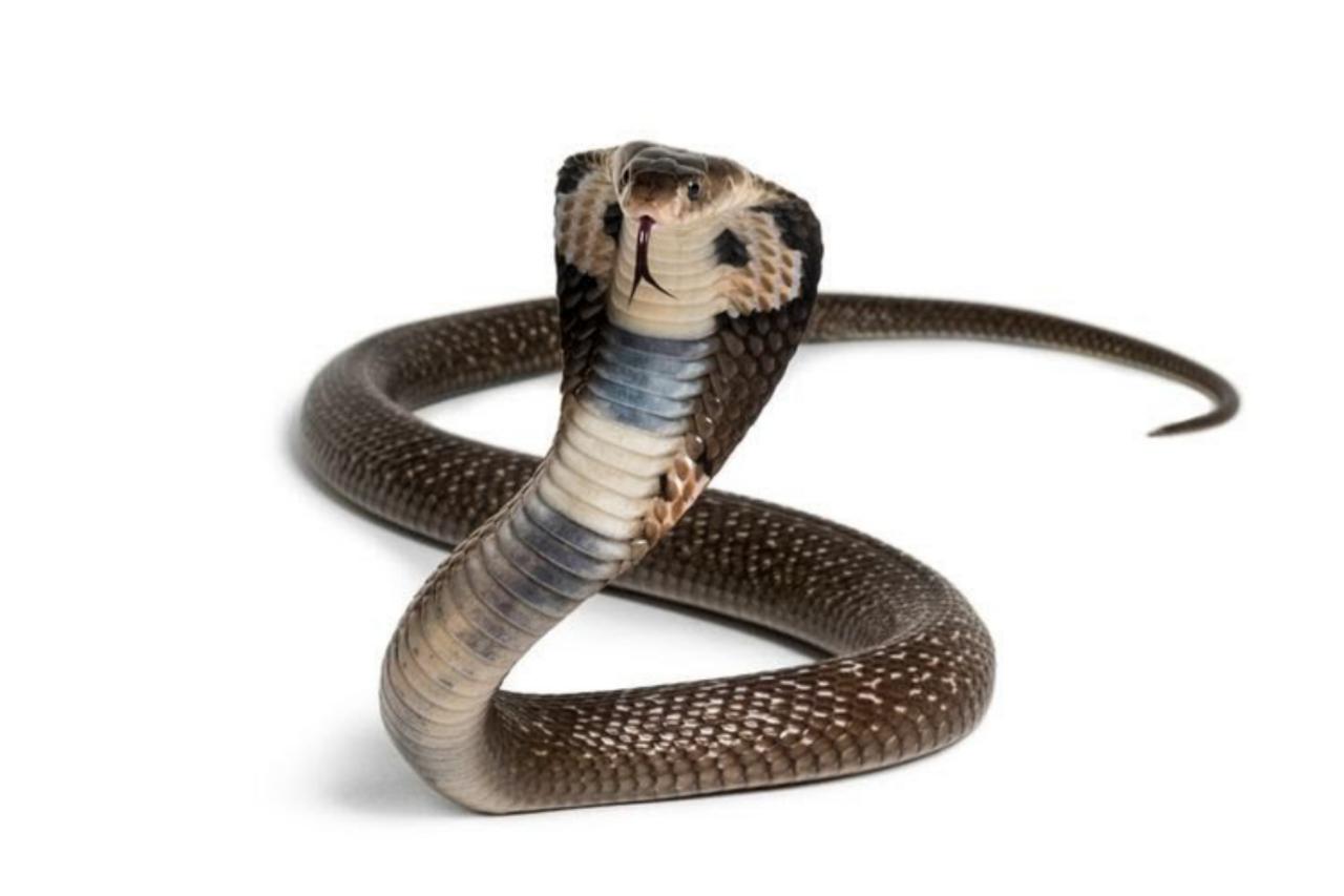 Viral, 31 Anak Kobra di Dalam Masjid At-Taqwa Mojolaban, Kapan Masuk Induknya?