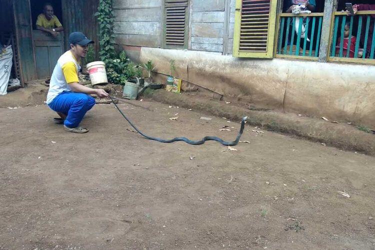 Digigit Ular Kobra Saat Berkebun, 2 Warga Gowa Tewas di Tempat