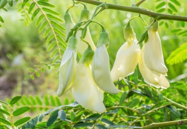 Kenali Kembang Turi, Bunga Cantik yang Berkhasiat Untuk Kesehatanmu!