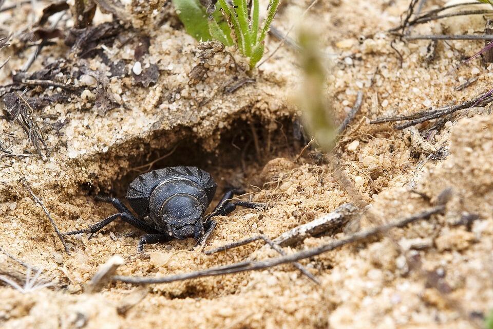 Simak 6 Fakta Mencengangkan Kumbang Kotoran