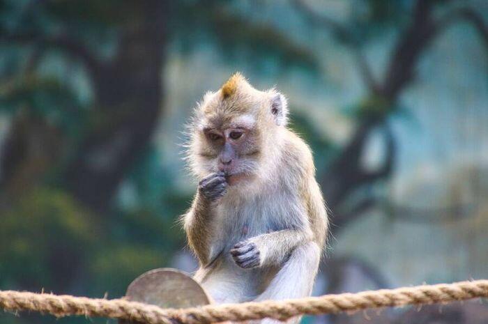Monyet Yang Bodoh
