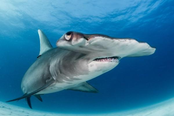 7 Spesies Ikan Hiu Paling Menakutkan di Dunia, Siap Menerjangmu!