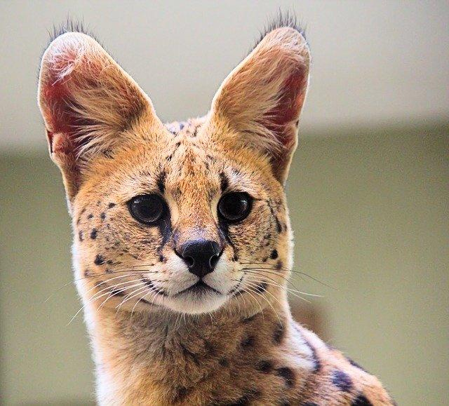 Ini 4 Ras Kucing Hasil Kawin Silang Antara Kucing Liar Dengan Kucing Rumahan