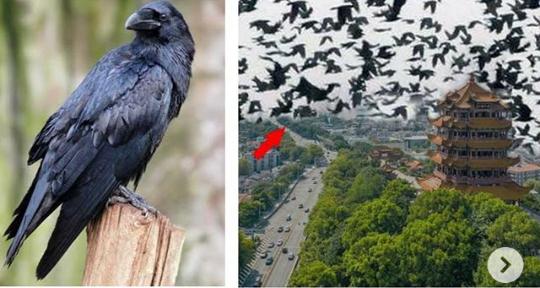 Fenomena Ribuan Gagak Serang Kota Wuhan dan Hubei China, Gegerkan Warganet! Ngeri