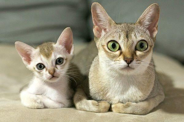 Ini 13 Ras Kucing Paling Agresif di Dunia, Awas Dicakar dan Digigit