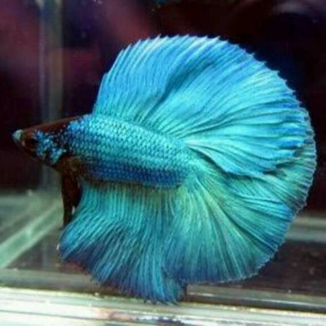 Ikan Cupang Si Primadona Kecil