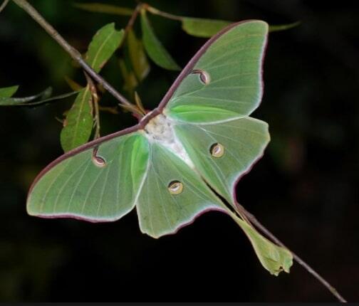 Ngengat Luna: Serangga Cantik yang Tak Butuh Makan Selama Hidupnya