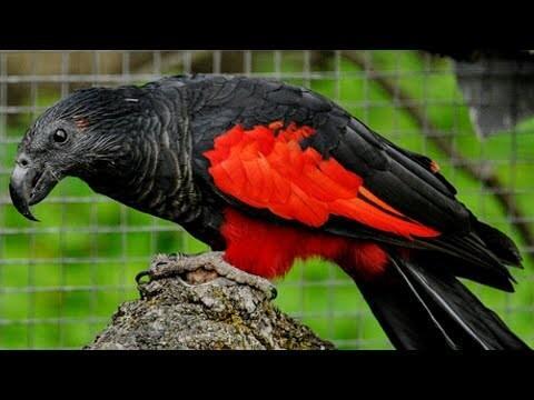 Ada Dracula Di Indonesia, Burung Nuri Asal Papua yang Berwarna Hitam!