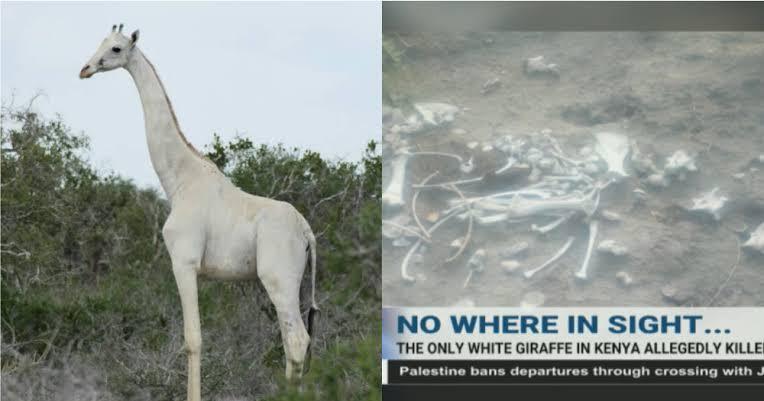Parah! Dua Jerapah Putih yang Sangat Langka Mati Dibunuh Pemburu Liar di Kenya