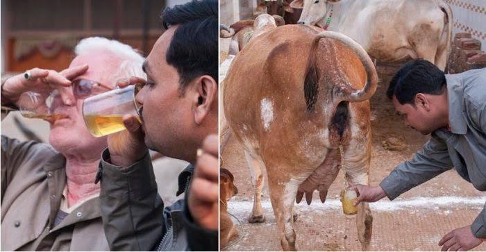 Tangkal Corona, Orang India Minum Air Kencing Sapi, Mau Coba?