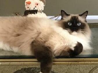 Suka Kucing? Yuk Intip 5 Jenis Kucing yang Lucu dan Menggemaskan versi Ane!
