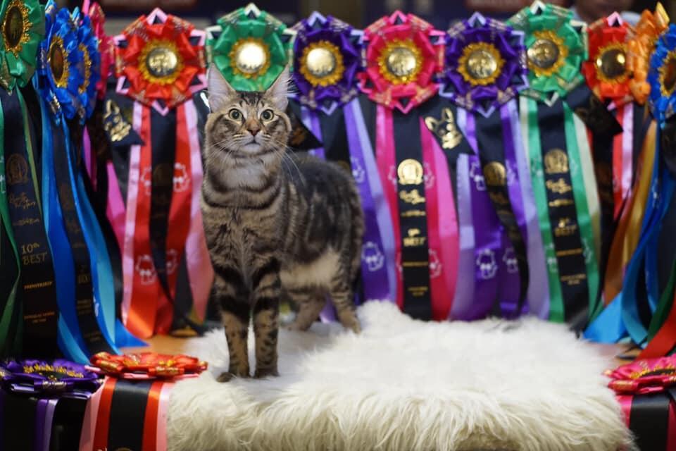 Tidak Semua Kucing Bulu Panjang Itu Angora