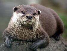 Otter, Hewan Peliharaan yang Populer di Zaman Now