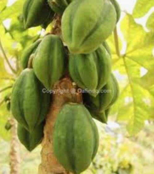 Mengenal buah Carica,buah yang heboh hasilkan puluhan juta per bulan