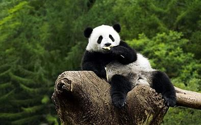 Panda, Si Karnivora yang Lucu dan Menggemaskan