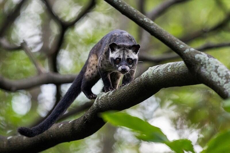 7 Jenis Musang yang Paling Terkenal di Indonesia