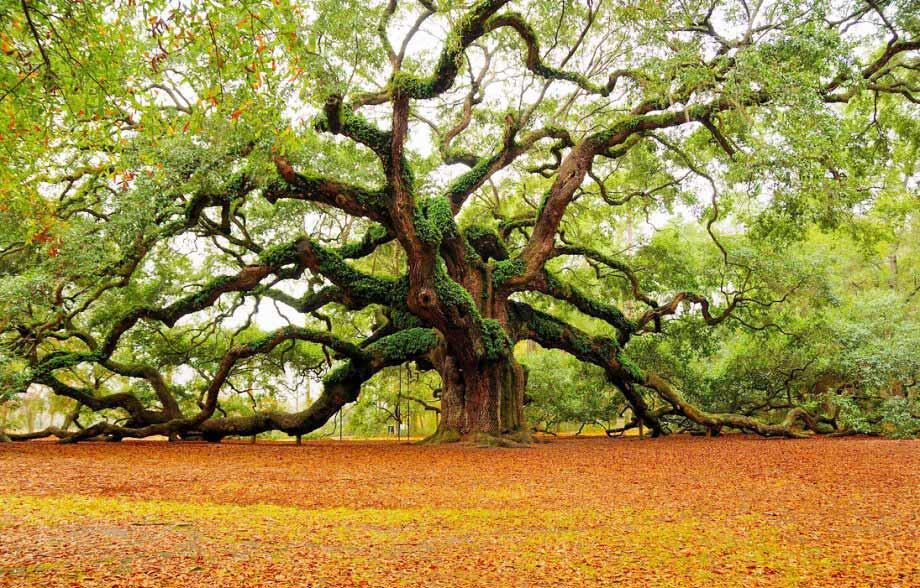 10 Pohon Luar Biasa di Bumi, Umurnya Ada yang Mencapai 80.000 Tahun!