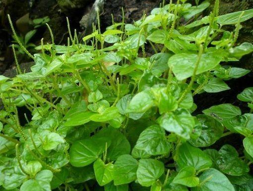 Gak Nyangka! Tanaman Liar di Sekitar Kita Bisa Dijadikan Sayuran