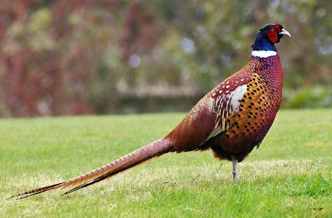 Pheasant Itu Ayam Atau Burung?