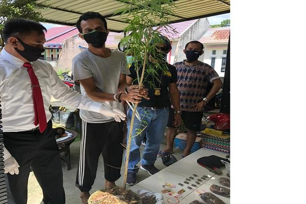 Tanam Pohon Ganja, Pengedar Ini Dibekuk Satres Narkoba Polda Sultra