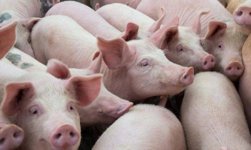 Vietnam Bakal Impor Besar-besaran Babi dari Thailand setelah Wabah ASF