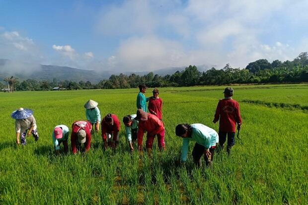 Kabupaten Poso Dukung Percepatan Tanam Melalui Sekolah Lapang