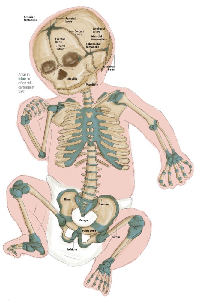 Taukah Kalian Mengapa Tulang Bayi Lebih Banyak Dari Orang Dewasa?