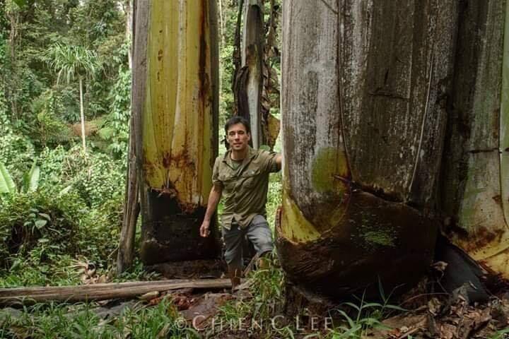 Musa Ingens, Pisang Raksasa yang Tumbuh di Pegunungan Papua