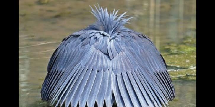 Ternyata hewan ini bisa menyerupai payung hitam loh Gan Sist. Hewan apa ya? Yuk liat.