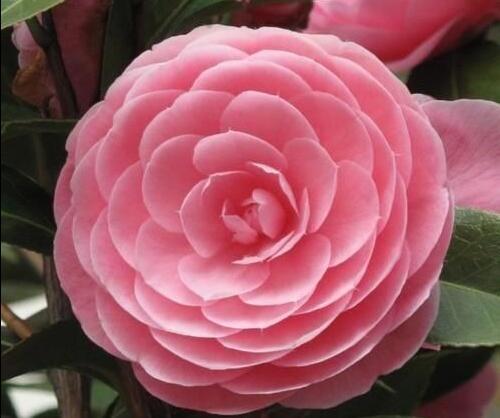 Keajaiban untuk Memenangkan Cinta? When The Camellia Blooms Bisa Membuktikannya Lho!