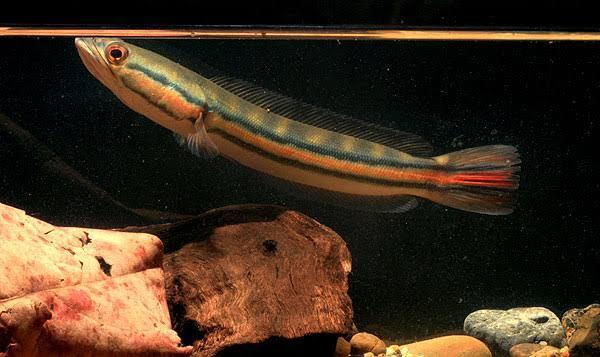 11 Jenis Ikan Snakehead Yang Bagus Untuk Menghiasi Aquarium Anda Dirumah