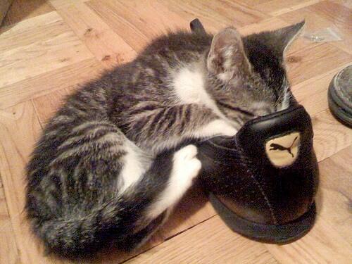 Suka Lihat Kucing yang Mencium Sepatu? Apa Dia Ga Kebauan Nyiumin Sepatu?
