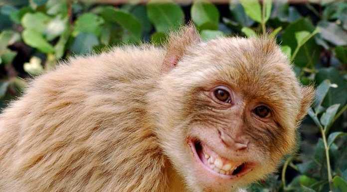 Gawat! 3 Sampel Darah Pasien Covid-19 Digondol Seekor Monyet