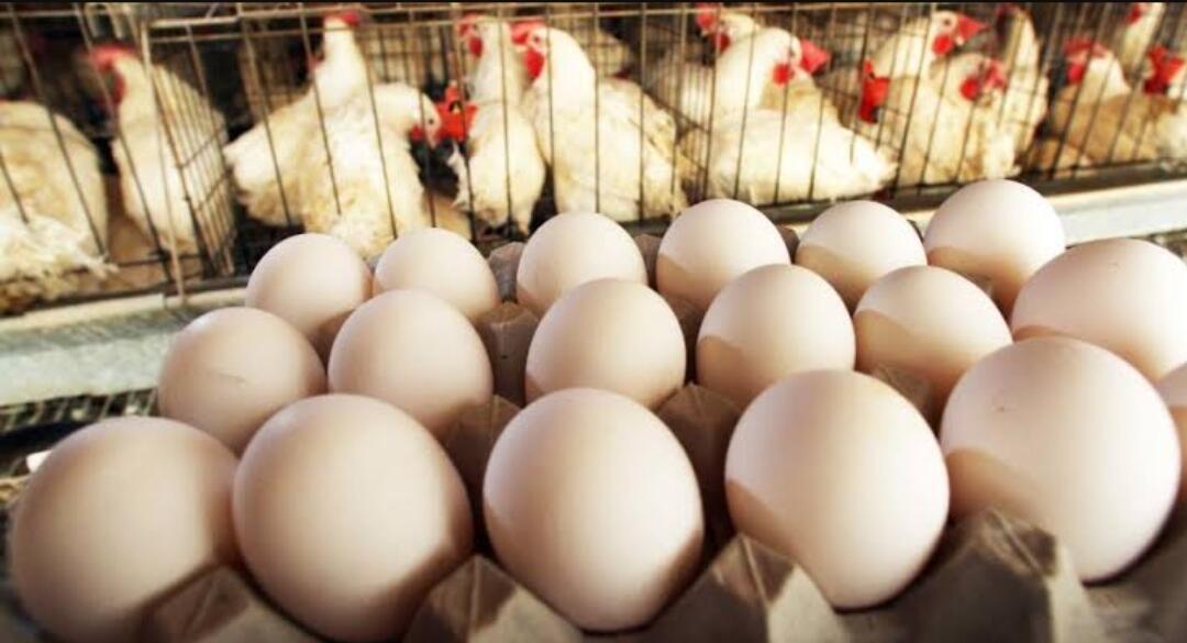 Waspada, Akibat Corona Ada Pedagang Telur Nakal, Ini Cara Mengetahuinya