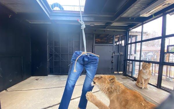 Dijual 9juta! Celana Jeans Sobek 'JEPANG' Ini Dibuat Dari Gigitan Singa !